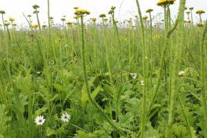 Grassland wildflower
